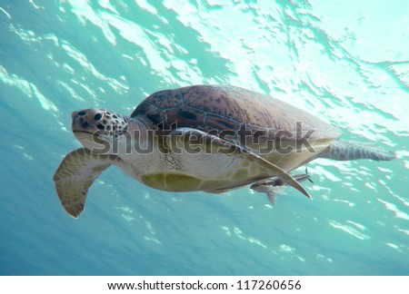 Green sea turtle. Red Sea