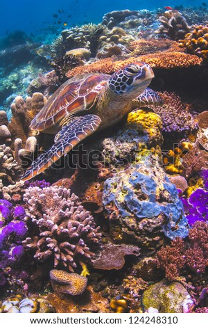 Green Sea Turtle sitting on a colorful coral reef underwater in the ocean - stock photo