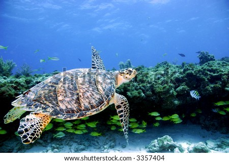 Green Sea Turtle swiming over Coral Reef