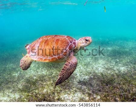 Green Sea Turtle Swimming in Akumal, Mexico #543856114