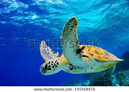 Stock Photo Green Sea Turtle swimming in Caribbean