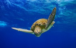 Green Sea Turtle swimming in the ocean in the Caribbean, Bonaire