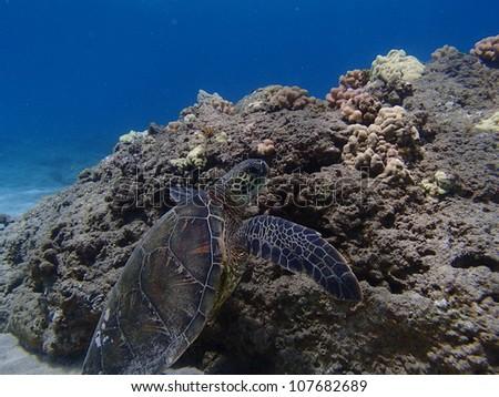 Green Sea Turtle swimming on bottom of ocean - stock photo