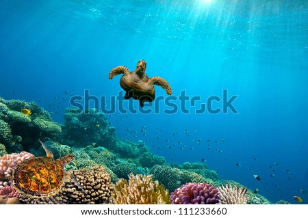 Green Sea Turtle swimming over Coral Reef, Red Sea, Egypt