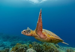 Green sea turtle swims over a colorful reef with healthy hard corals