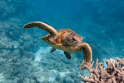 Green sea turtle swims over some staghorn coral on the Ningaloo Reef, Western Australia