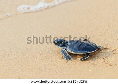 Green sea turtle walk to the ocean #521678296