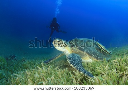 Green Sea Turtle with Scuba Diver in background