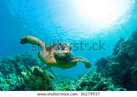 green sea turtle with sunburst in background underwater