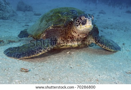 Green sea turtles can be found both in the South Alantic and Pacific oceans