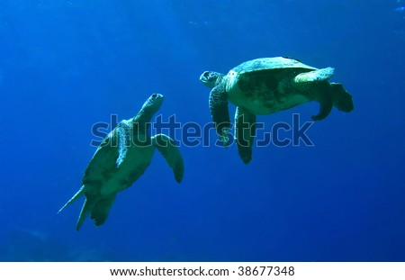 Green Sea Turtles Playing in Kona Hawaii