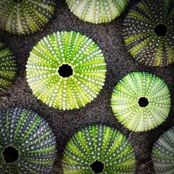 green sea urchin shells on dark sea sand background, filtered image