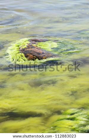 green seaweed in sea water