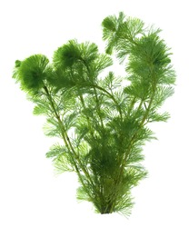 Green seaweed isolated on white background