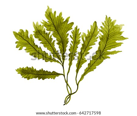 Green Seaweed, kelp in the ocean, watercolor hand painted  green seaweed element isolated on white background. Watercolor illustration design. With clipping path.