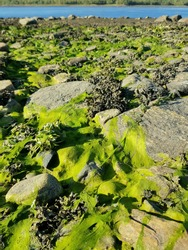 green seaweed on the stones