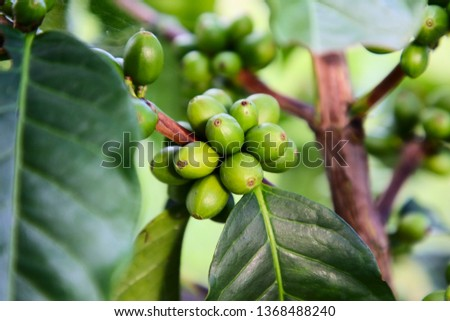 Green seeds - coffee beans and plan - South America - Central America