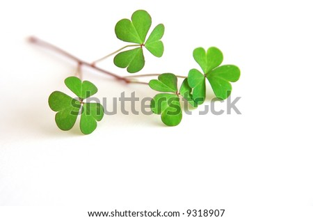 Green shamrocks placed on a white background. Perfect to be used as a concept for St. Patrick's Day