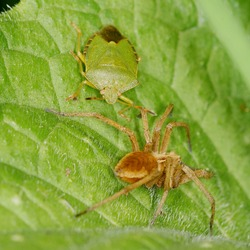 Green Shield Bug and Spider