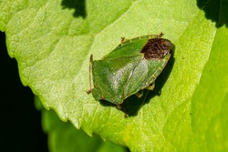 Green Shield Bug (Palomena prasina) a common garden flying insect which is often called stink bug stock photo