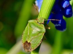 Green shield bug sitting on the plant. The green shield bug, Palomena prasina is a European shield bug species in the family Pentatomidae.