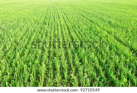 Green shoots of oats and peas