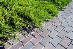 Green shrubbery and paving slabs in the yard. Natural background. Concrete tile pavement and Juniperus sabina. Landscaping and gardening.