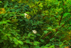 Green shrubbery with white flowers, blurred background