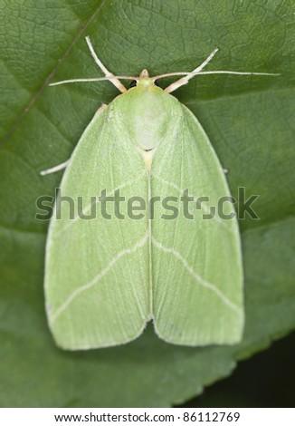 Green Silver-lines (Bena prasinana) moth sitting on leaf
