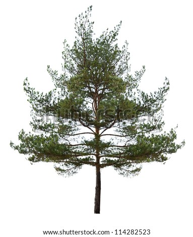 green single pine isolated on white background