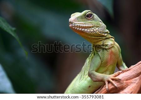 Green skin lizard looking (Chinese water dragon)