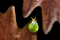 Green Snail (Rhinocochlis nasuta) as the name implies has a bright green shell is one type of snail from the mollusk group. This type of snail is found in dalugha plantations with humid environmental