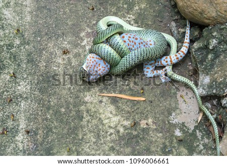 Stock Photo Green  snake  bite  gecko.