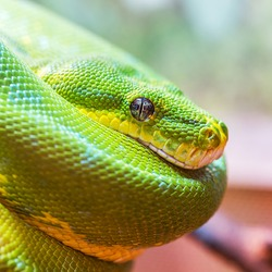 Green snake closeup with focus on eye