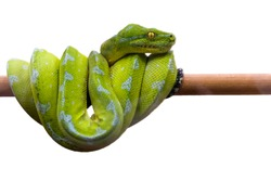 Green snake curled up on a branch, isolated on a white background