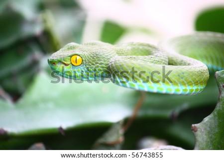 Green snake from Kaoyai, Thailand.