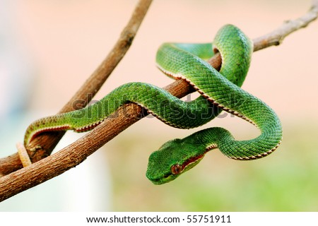 Green snake from Khao Yai Thailand. Khao Yai is UNESCO World heritage.