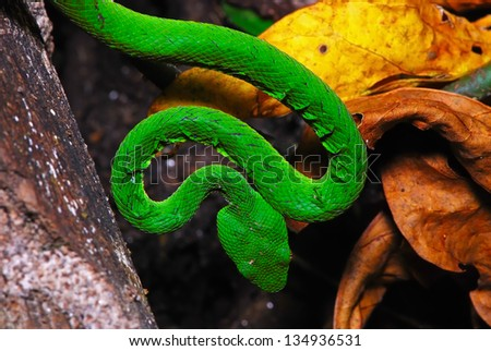 Green snake, Green pit viper or Asian pit viper, in ground forest