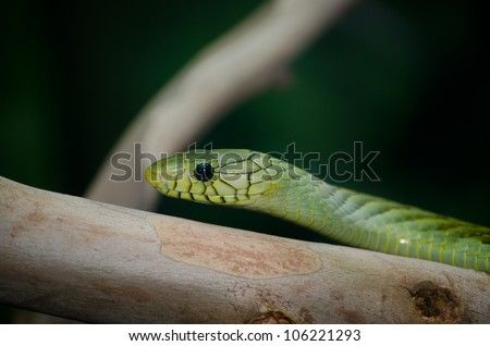 Green snake head on stripped branch