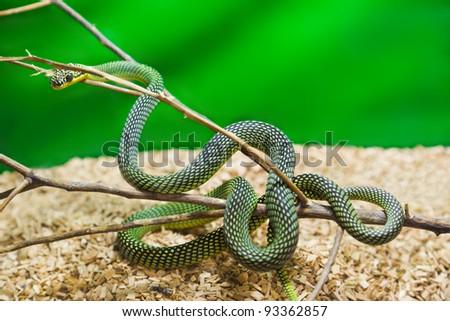 Green snake in terrarium - animal background - stock photo