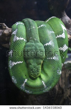 Green snake relaxes while perfectly balanced on tree branch