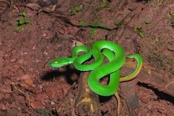 Green Snake, Snake
