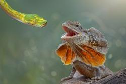 Green Snake vs  Chlamydosaurus kingii , Frill Dragon  Neck