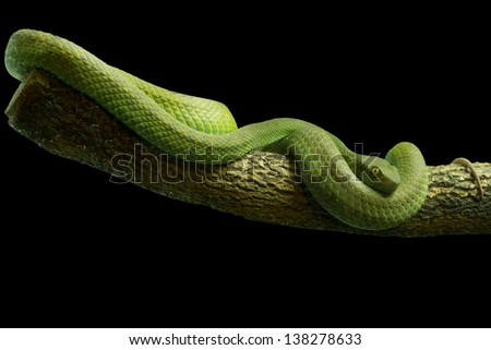 Green Snake with black background.