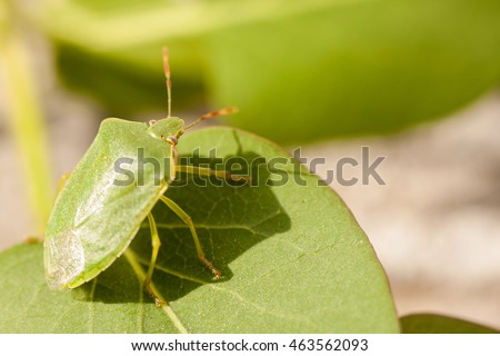Green soldier bug is a stink bug belonging to the family Pentatomidae