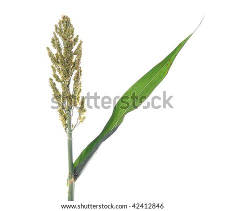 green sorghum