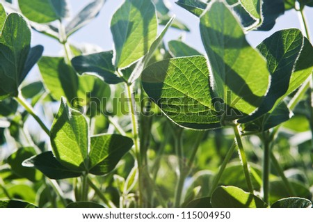 Green soy plant leaves in the cultivate field, against the sun