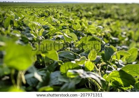 Shutterstock Green soybean field