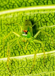 Green spider Lyssomanes sp on leaf macro photography of nature