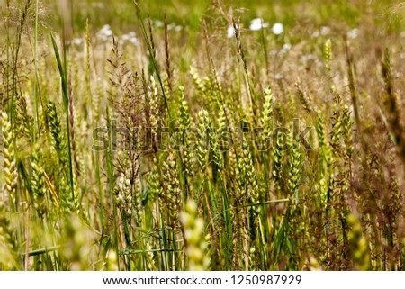 green spikelets of wheat with a lot of weed on an agricultural field in spring, green unripe cereals